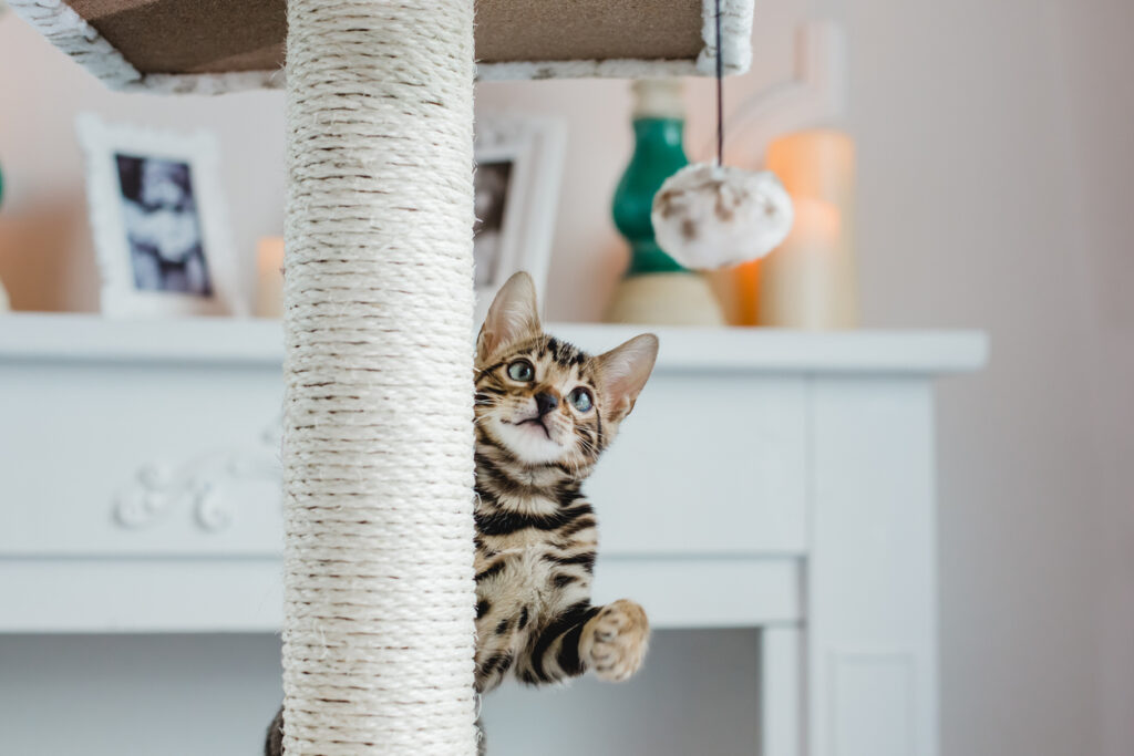 Kitten playing a game in article about whether cats play fetch.