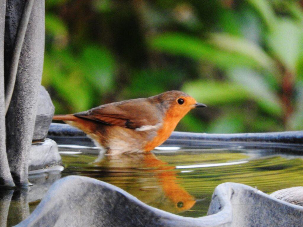 Picture of a robin in a bird bath