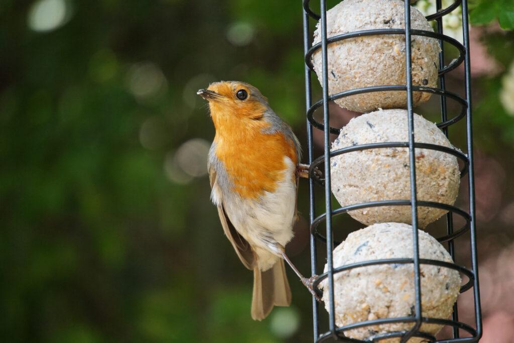 Robin eating bird food.