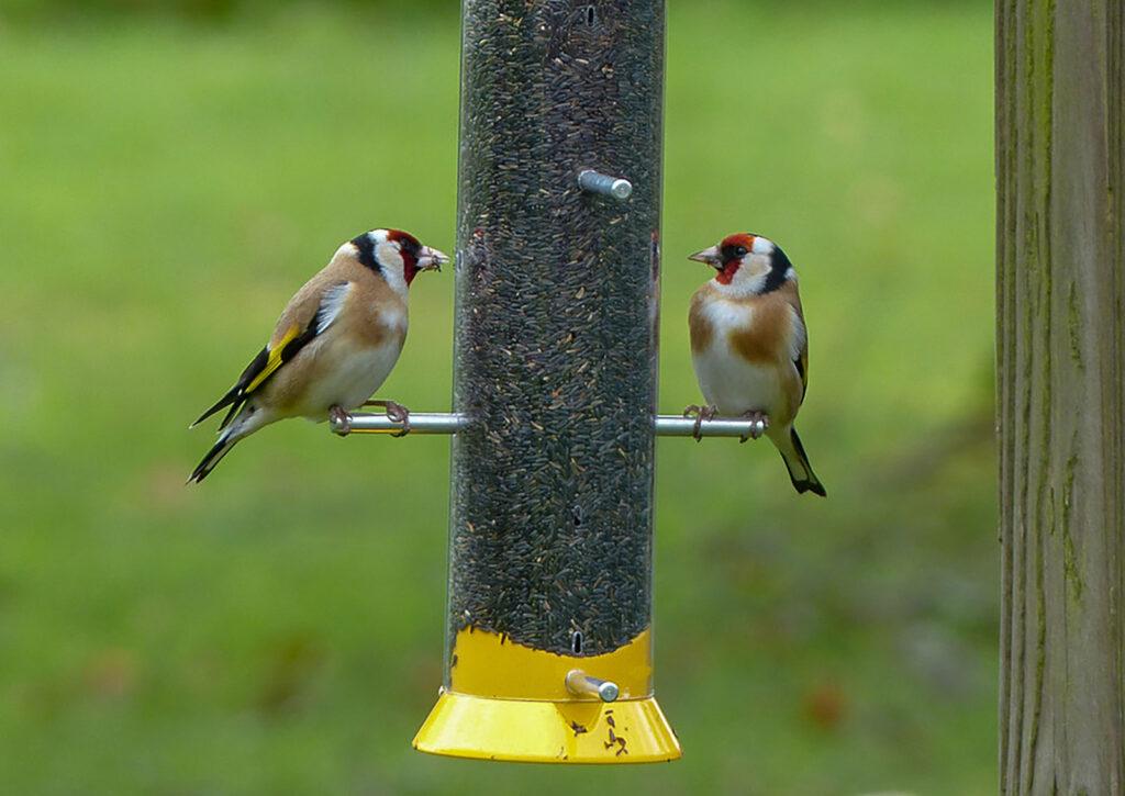 Garden birds eat from a bird feeder.