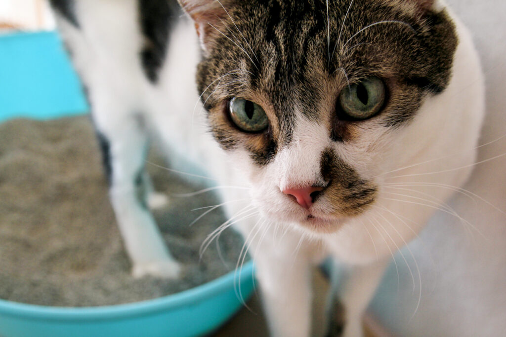 White and tabby cat climbing out of litter box.