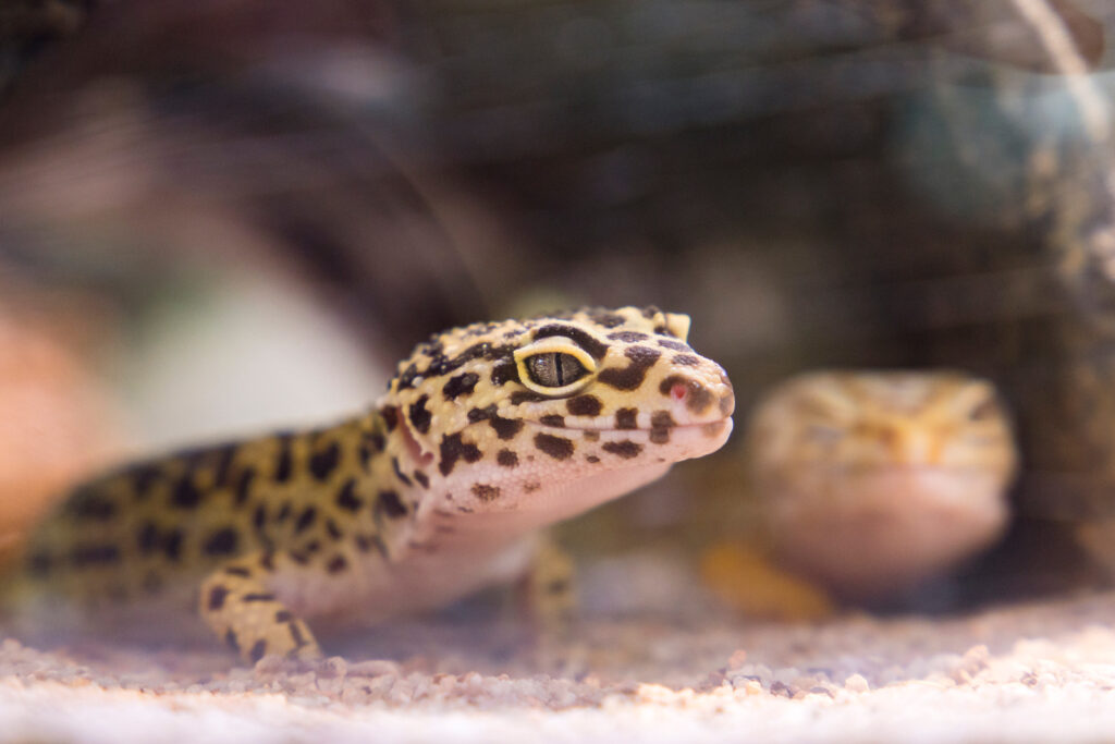 Image shows a lizard in an article about whether reptiles need heat lamps.