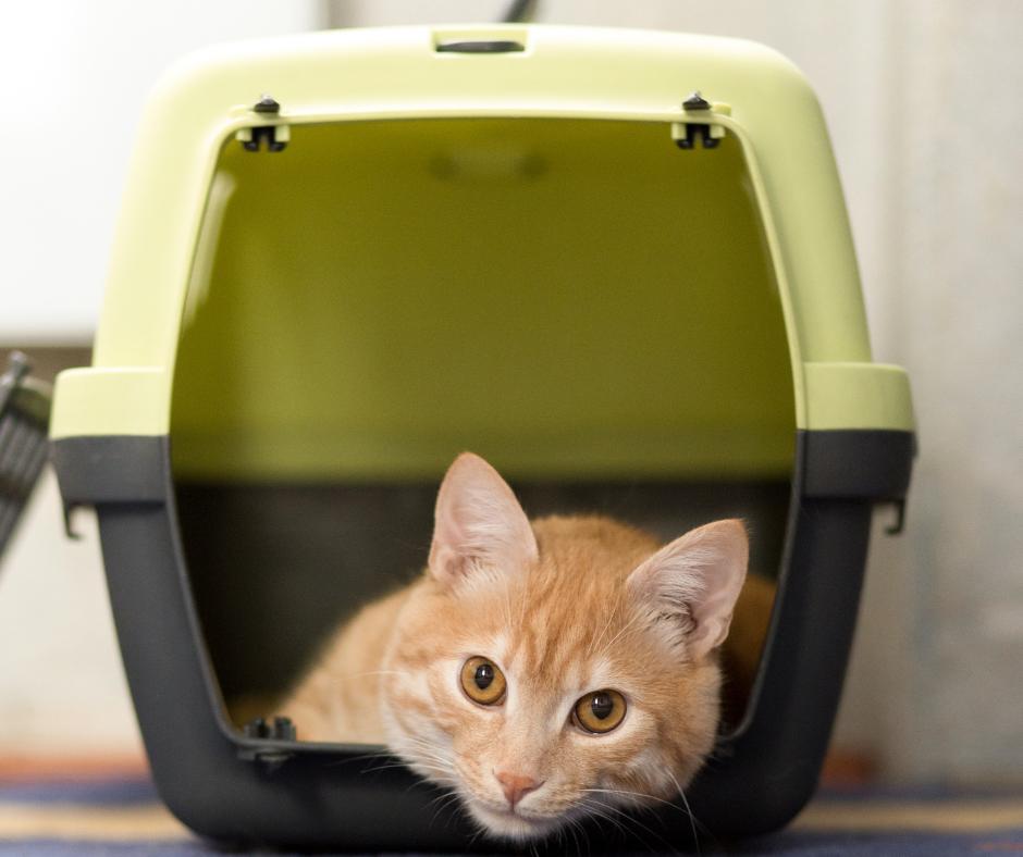 Cat sitting in cat carrier