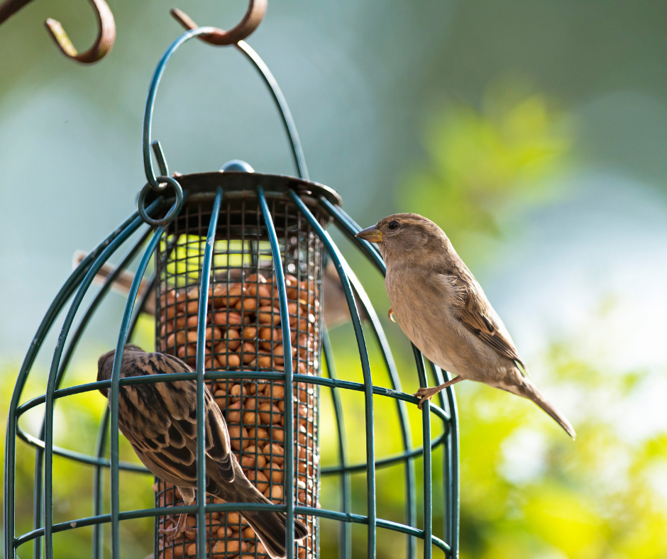 Photo of house sparrows, UK garden birds, being fed in the summer months on a hanging bird feeder.