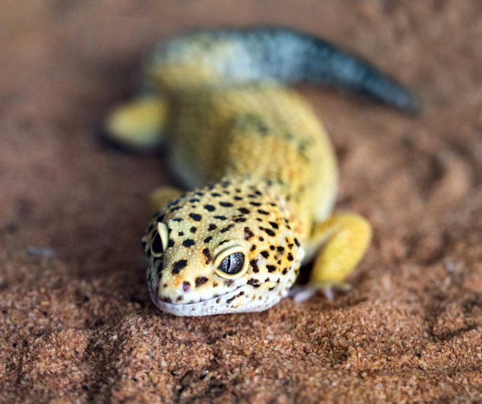 A leopard gecko in an article about reptile skin care