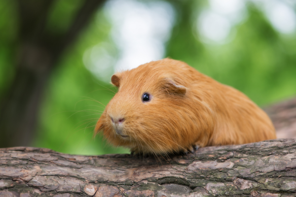 Flystrike in guinea pigs and rabbits